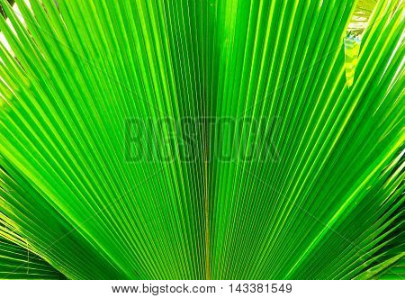Texture of Green palm Leaf with sunlight