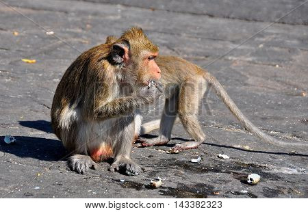 Bang Saen Thailand - January 11 2014: Two monkeys eating chunks of corn sitting on a large rock at Sam Mok Hill