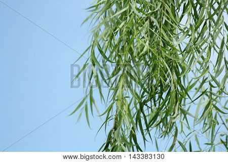 Bamboo tree on blue sky texture background