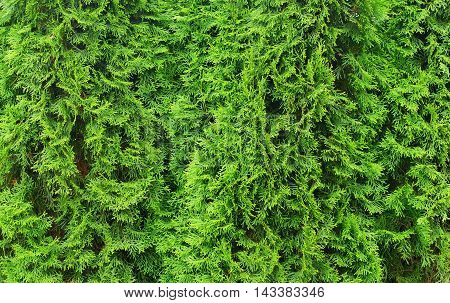 Wall from thuja trees for nature background