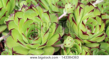 green flower succulent plant background pianta grassa sfondo