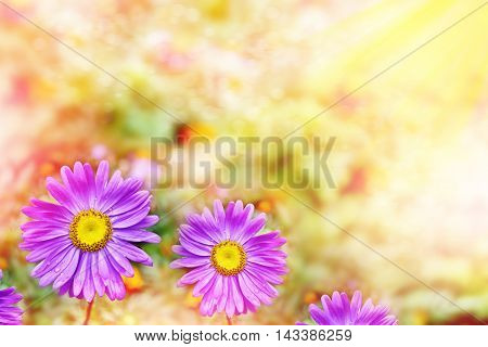 Pink aster colorful flowers on a background summer landscape