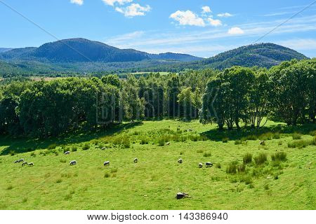Grassy meadow with sheep grazing on grass