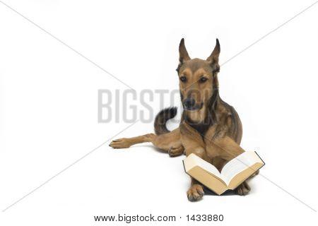 Perro Pastor belga leer libro/Biblia