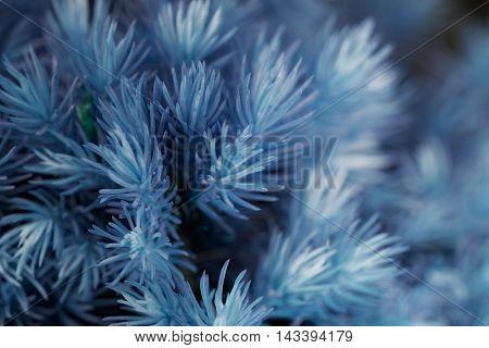 brunch of evergreen tree