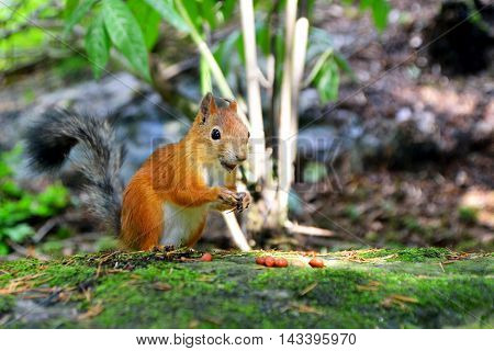 Cute squirrel eating a nut looking at the camera