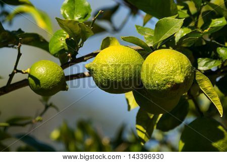 Green unripe lemon on the tree in Italy