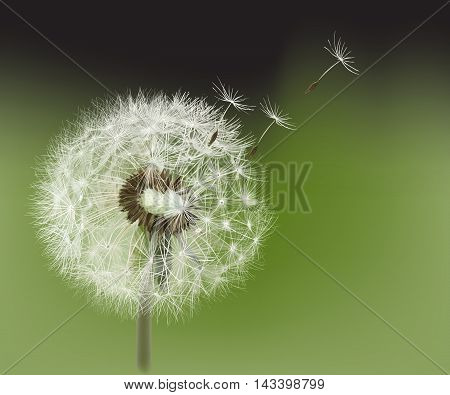 Dandelion.  Hand drawn vector illustration representing a dandelion seed head blown by the wind.