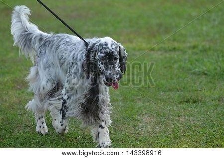 Cute English setter dog walking on a leash.