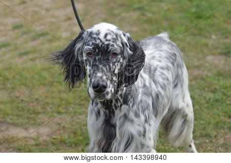 Great looking face of an English setter puppy dog.