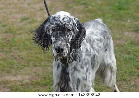 Great looking English setter dog with an adorable face.