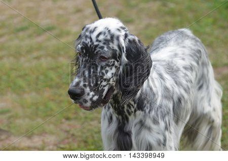 Adorable black and white English Setter dog.