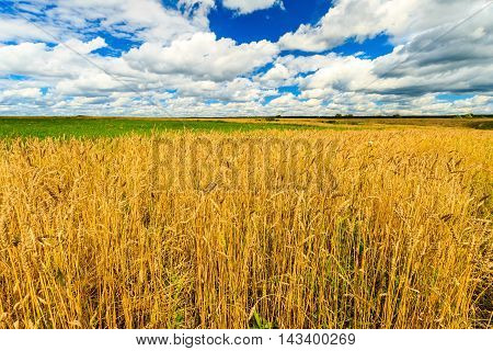 Wheat Field With Cloudy Sky At Autumn Sunny Day