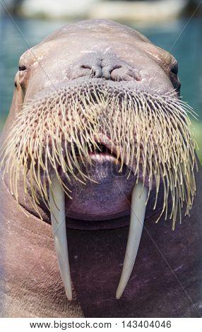 Portrait A walrus closeup over blur background