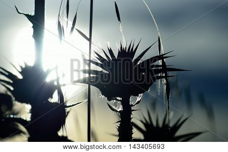Intense sun at dawn and milk thistle about to bloom
