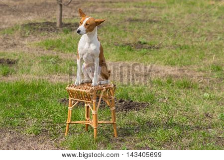 Canine rest in a spring garden - smart basenji sunbathes sitting on a wicker stool