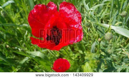 Close up poppy head. Red wild poppy flowers field