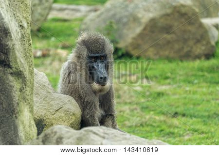 Young male drill ape from west africa - Mandrillus leucophaeus