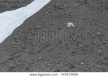 Mountain Goat on Snowy Moraine from a distance