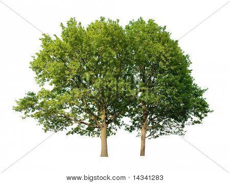 Dos árboles de roble, aislados sobre fondo blanco