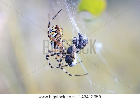 striped spider sitting in its web and eats its prey