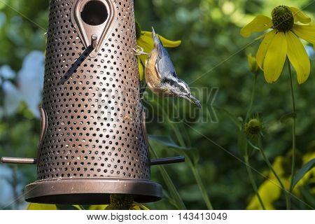 Red-breasted Nuthatch on a Backyard Bird Feeder