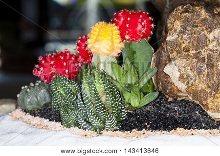 Cactus desert plant. Miniature succulent plants in tray garden.