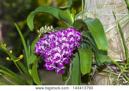 Wild orchids and a garden.Orchid purple spots.