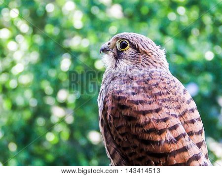 Young Falcon Kestrel