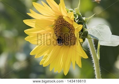 a bumblebee on sunflower in the garden