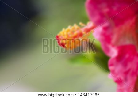 Hibiscus rosa-sinensis.Hibiscus rosa-sinensis. MALVACEAE. red hibiscus flower isolated. (blur)