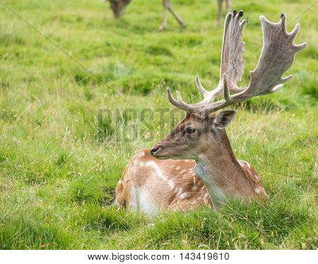 Male Fallow Deer laying down on grass