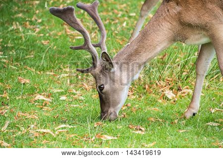 Male Fallow Deer eating grass in the park