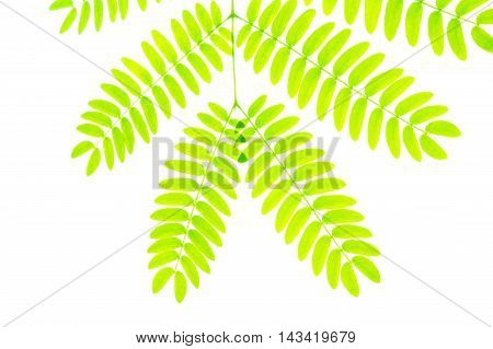 Branch of little oval leaves isolated on white background. backlit and translucent, accentuating the plant veins and overlapping color changes.