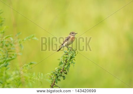 Male young Europian stonechat or Saxicola rubicola seats on twig