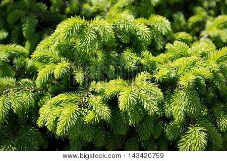 A background of a green Fir tree