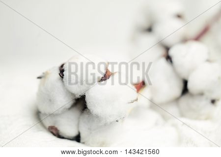 White Cotton Flower on Background with Copyspace
