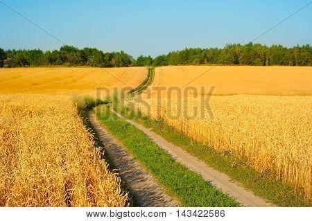 Wheat Field In Crop Season