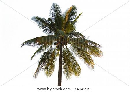Coconut palm tree from Thailand