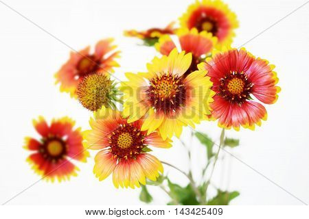 Echinacea red and yellow flowers over white background