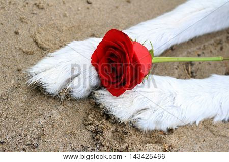 Red rose between malamute dog paws in the sand.