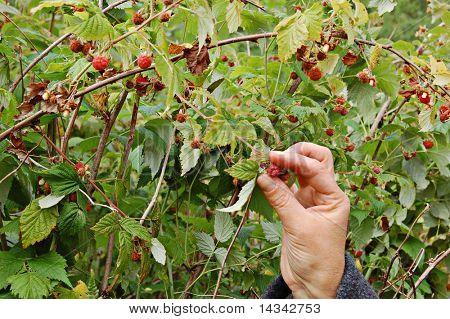 Picking wild raspberries in Finland