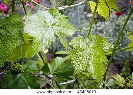 Young Vines in home gardens with flowers.