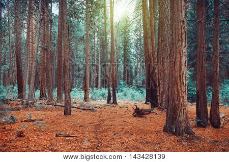 Magical dreamy forest background with old pine trees
