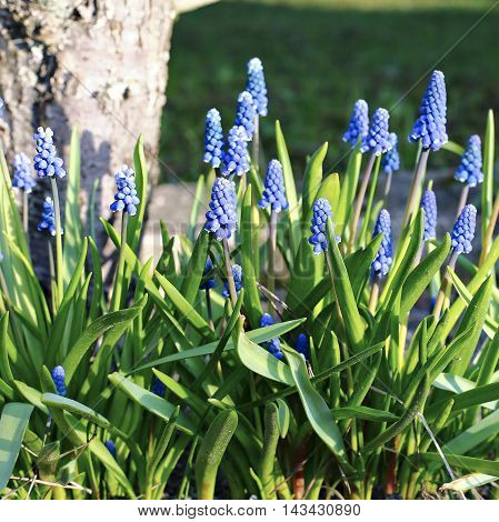 Blue muscari flowers on a sunny day in early spring