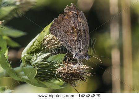 Meadow Brown (maniola Jurtina)