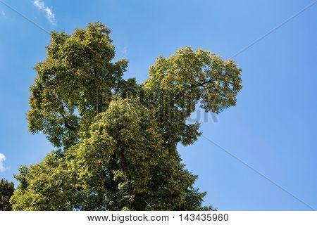 Linden Tree Crown On Estate Farm At Castle Schloss Hof, Austria