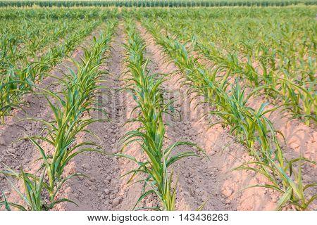 Corn seedlings Planted in farmland at summer .