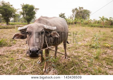Buffalo in farmland at countryside , Thailand.