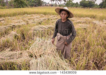 Old women farmer working in rice field.